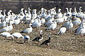 Greater Snow Geese.jpg