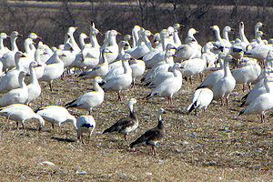 Snow goose - A. c. atlanticus, spring migration, blue morphs in foreground, Alexandria, Ontario
