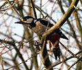 Greater Spotted Woodpecker 2 (6823845762).jpg