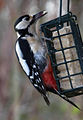 Greater Spotted Woodpecker 5 (6969969933).jpg