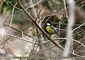 Green-backed Tit (Parus monticolus) (47714223832).jpg