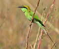 Green Bee-eater (Merops orientalis) with a Dragonfly, AP W IMG 1631.jpg