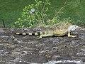 Green Iguana (49825643501).jpg