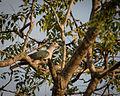 Green Imperial Pigeon.jpg