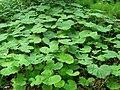 Green big leaves plants.JPG