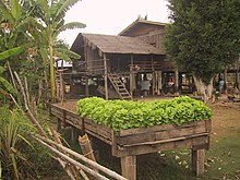 Green Lettuce In A Kitchen Garden On Stilts Laos