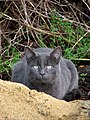 Grey cat - geograph.org.uk - 640480.jpg
