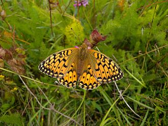 Dark green fritillary - Female, Elsenborn, Belgium