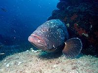 Mero Fish In English