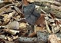 Gruben lorchel Helvella lacunosa.jpg
