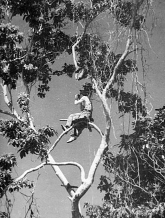 Artillery observer - A U.S. Marine artillery forward observer in a tree to get a better view of the battlefield in Guadalcanal, 1942.