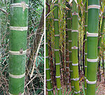 Guadua angustifolia, the Giant Neotropical Bamboo (11274476235).jpg