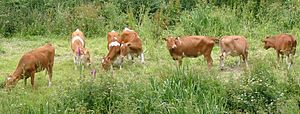 Guernsey cattle.jpg