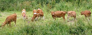 Guernsey cattle in St. Saviour's, Guernsey