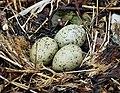 Gull eggs ? (25313805438).jpg