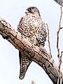 Gyrfalcon (Falco rusticolus - 6383387039 - cropped).jpg