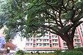 HK SMP 秀茂坪邨 Sau Mau Ping Estate Campion tree silk July 2018 IX2 (1).jpg