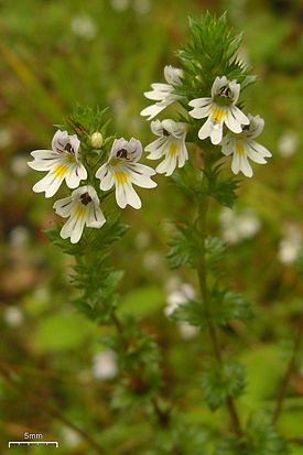 Hairy Eyebright (3904269175).jpg