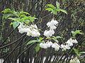 Halesia monticola E·4·6.jpg