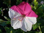 Наполовину белый и наполовину розовый цветок