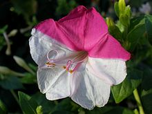 Half-white half-purple flower of mirabilis jalapa.jpg