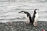 Half Moon Island, Antarctica. Chinstrap Penguin (24914205456).jpg