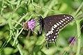 Halifax DSC08394 - Swallowtail (36194557371).jpg