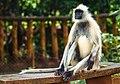 Hanuman Langur or Gray Langur.jpg