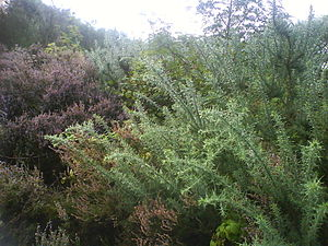 Kersal Moor - Heather and gorse