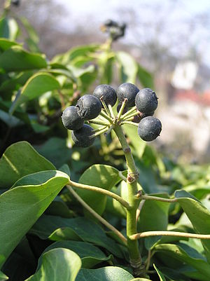 Hedera helix - Adult leaves and fruit