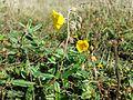 Helianthemum nummularium subsp. obscurum sl15.jpg