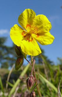 Helianthemum nummularium subsp obscurum 300907.jpg