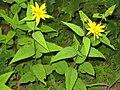 Helianthus divaricatus 7718.jpg