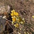 Helichrysum stoechas-Immortelles-Fleurs-20150509.jpg