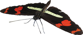 Description de l'image Heliconius telesiphe.png.