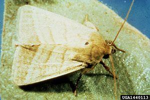 Heliothis virescens - Image: Heliothis virescens