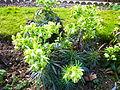 Helleborus foetidus in Jardin des Plantes 01.JPG