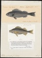 Helotes sexlineatus - - Print - Iconographia Zoologica - Special Collections University of Amsterdam - UBA01 IZ13000112.tif