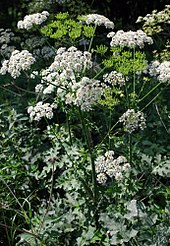 A herbaceous plant with a thick stem, hairy and serrated leaves, and large white umbels