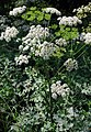 HeracleumSphondylium1.jpg