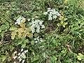 Heracleum sphondylium Route Bief Chanot St Cyr Menthon 3.jpg