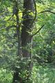 Herbstein Lanzenhain Oberwald Wannersbruch NR 319289 W Alnus glutinosa c.png