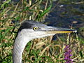 Heron Montrichard 10aug15 6725.jpg