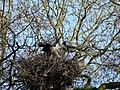 Heron Nest 20-04-10 (4544247512).jpg