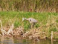 Heron fishing - panoramio.jpg