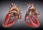 El corazón (ilustración de Heikenwaelder Hugo)