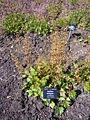 Heuchera americana 2007-06-02 (plant).jpg