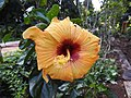 Hibiscus rosa sinensis hybrid-26-hanuman temple-muluvi-yercaud-salem-India.jpg