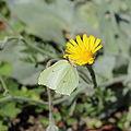 Hieracium tomentosum-IMG 5613.jpg