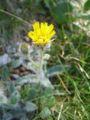 Hieracium villosum02.jpg